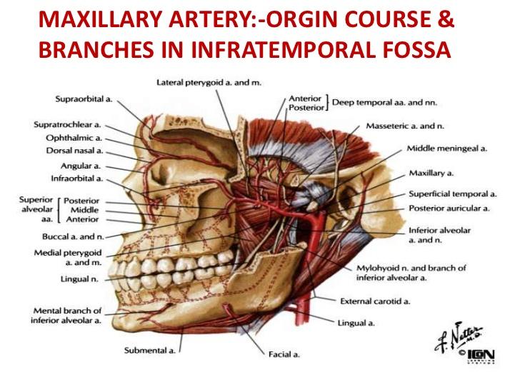 Infratemporal Fossamaxillary Artery Branches Ranzcrpart1 Wiki