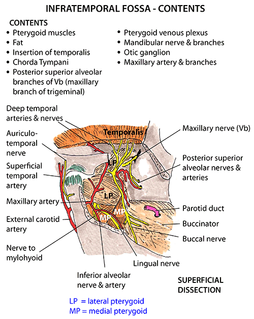 Infratemporal Fossa Leoncapers