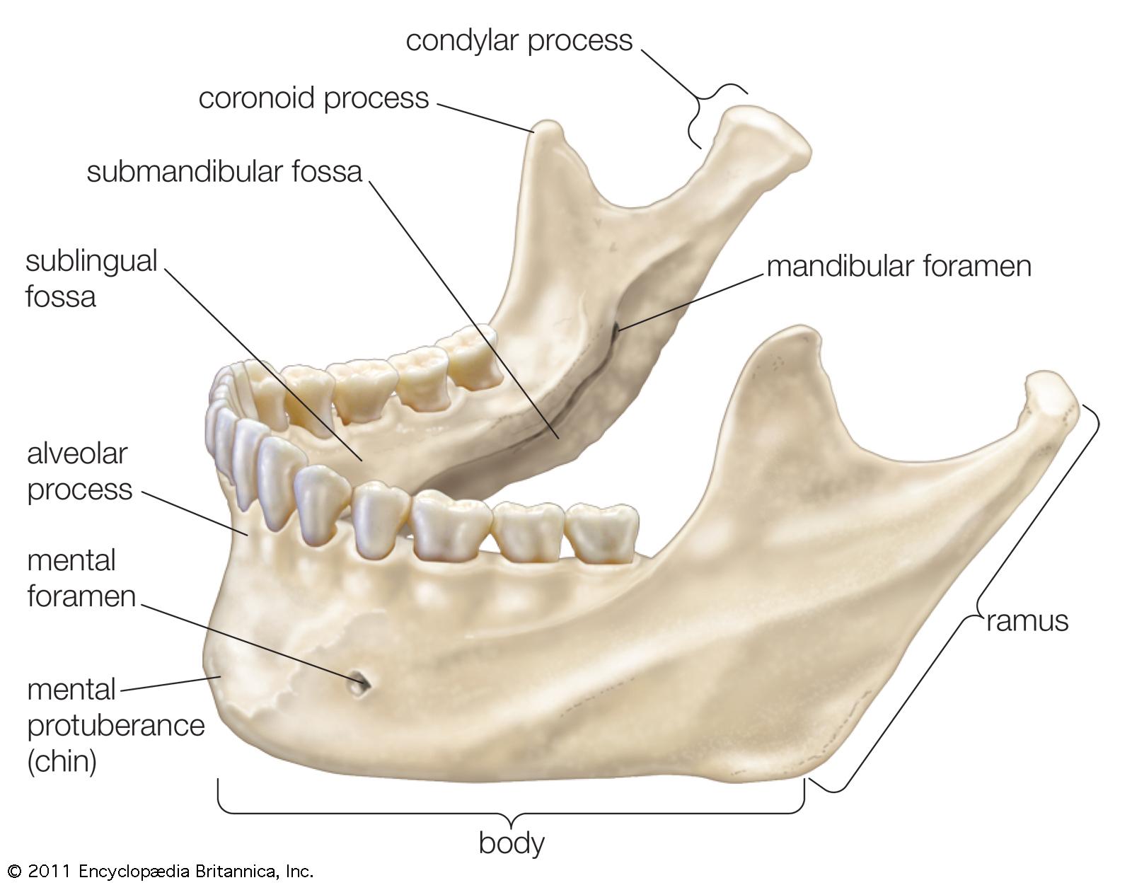Facial Bonesmandible Ranzcrpart1 Wiki Fandom Powered By Wikia