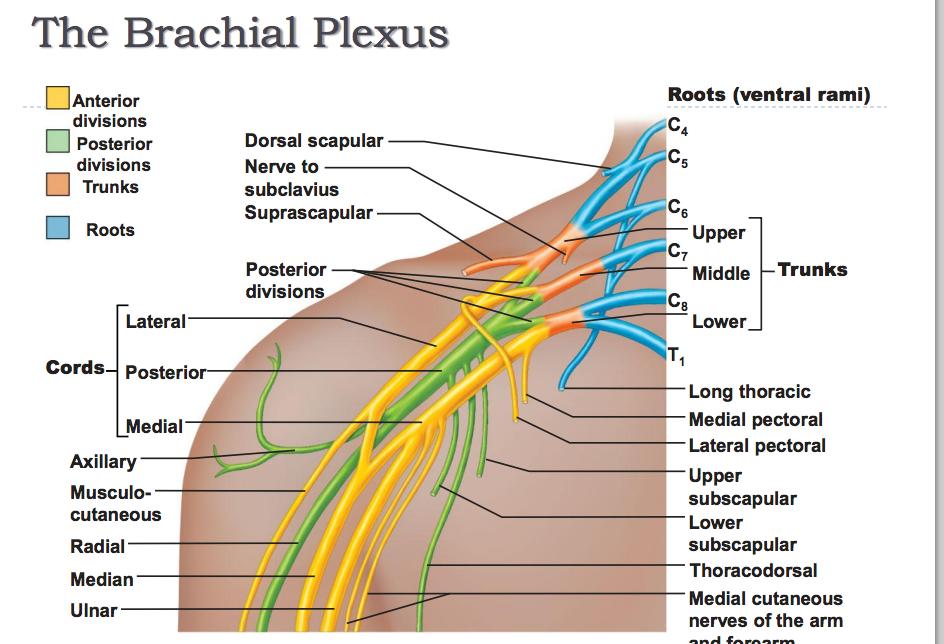 Nerves:Arm/Shoulder:Brachial Plexus:Lateral cord | RANZCRPart1 Wiki ...