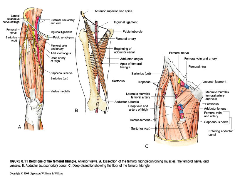 Regions Anterior Femoral Triangle Boundary Amp Contents