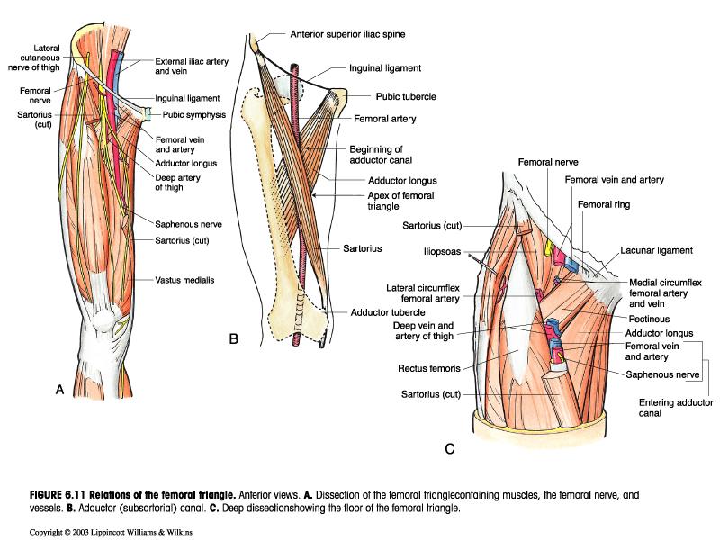 Regions anterior:Femoral triangle boundary & contents | RANZCRPart1 ...
