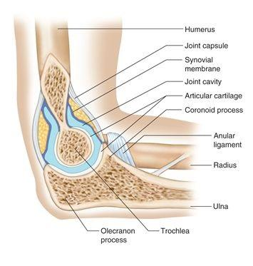 Joint:Elbow joint:Fibrous capsule & joint cavity | RANZCRPart1 Wiki ...