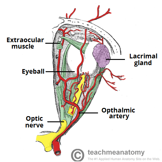Image - Contents-of-the-Bony-Orbit-Arteries-Optic-Nerve-and-Muscles ...