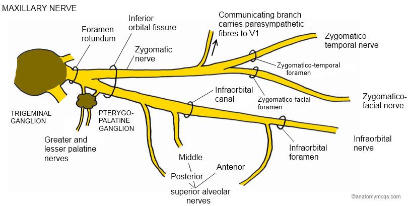 Infratemporal Fossamaxillary N Branches Ranzcrpart1 Wiki