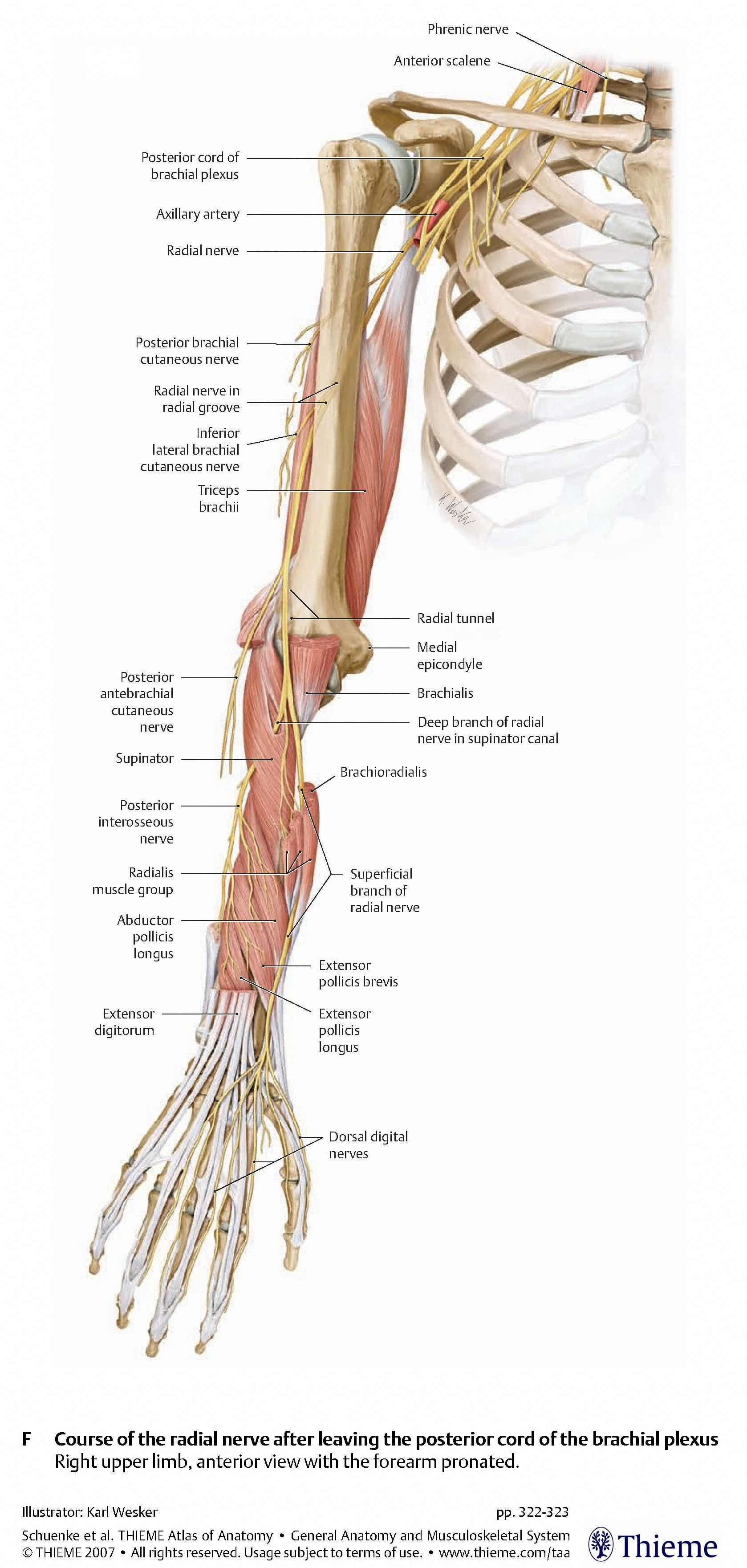 Nerves:Arm/Shoulder:Radial nerve course, relations and innervation ...