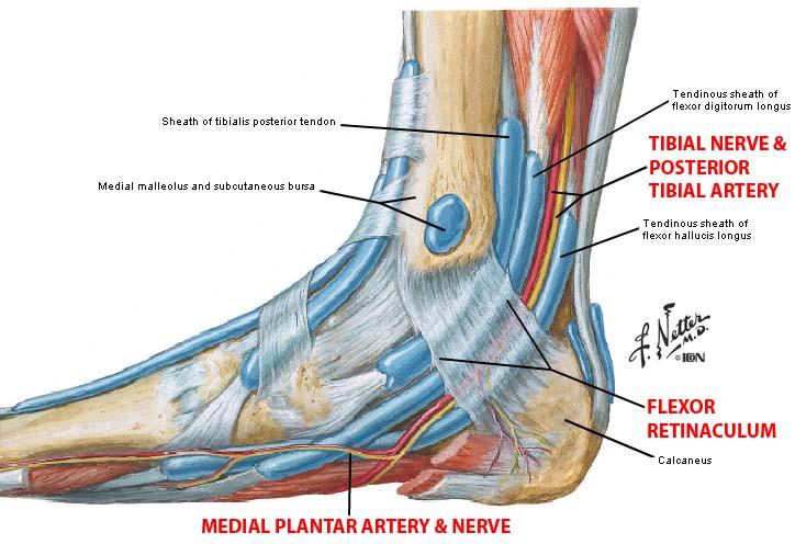 Muscles:Deep fascia:Flexor Retinaculum | RANZCRPart1 Wiki | FANDOM ...