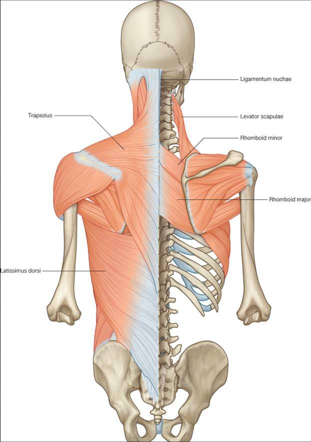 Spine Backmusclesextrinsic Back Muscles Ranzcrpart1 Wiki