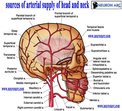 Facial arteries picture