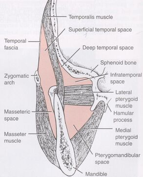 Masticator space anatomy