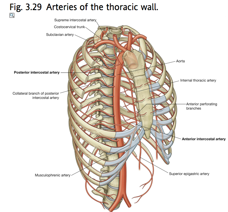 Thoraxarterial Structureintercostal Arteries Posterior And
