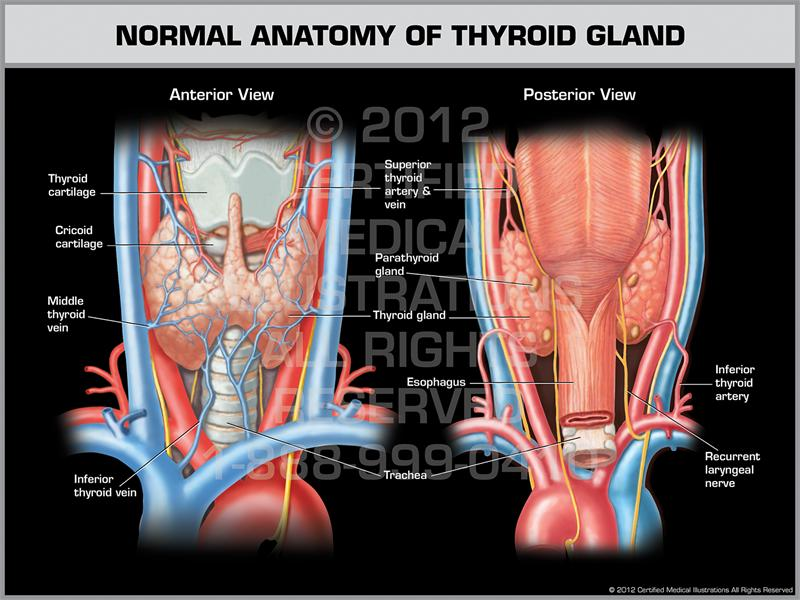 Thyroid Glandparts Ranzcrpart1 Wiki Fandom Powered By Wikia