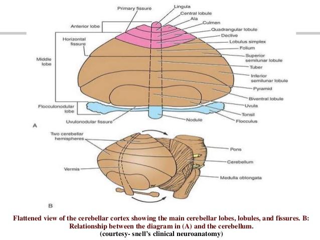 8. Cerebellum | RANZCRPart1 Wiki | FANDOM powered by Wikia