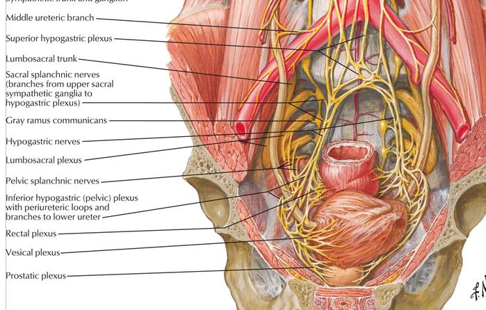 Nerves:Pelvis:Inferior hypogastric plexus | RANZCRPart1 Wiki ...
