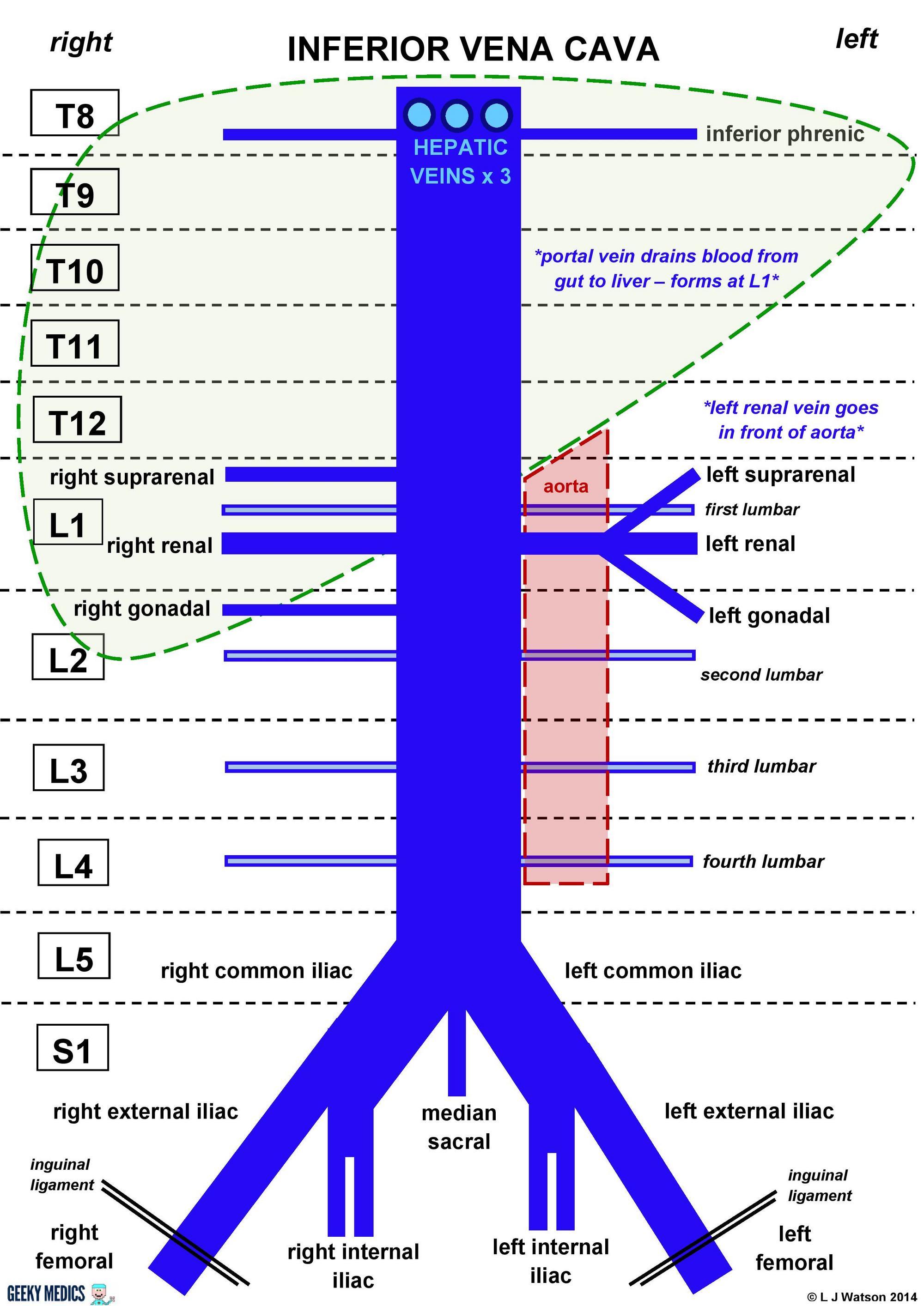 Abdomen:Venous:IVC and tributaries | RANZCRPart1 Wiki | FANDOM ...
