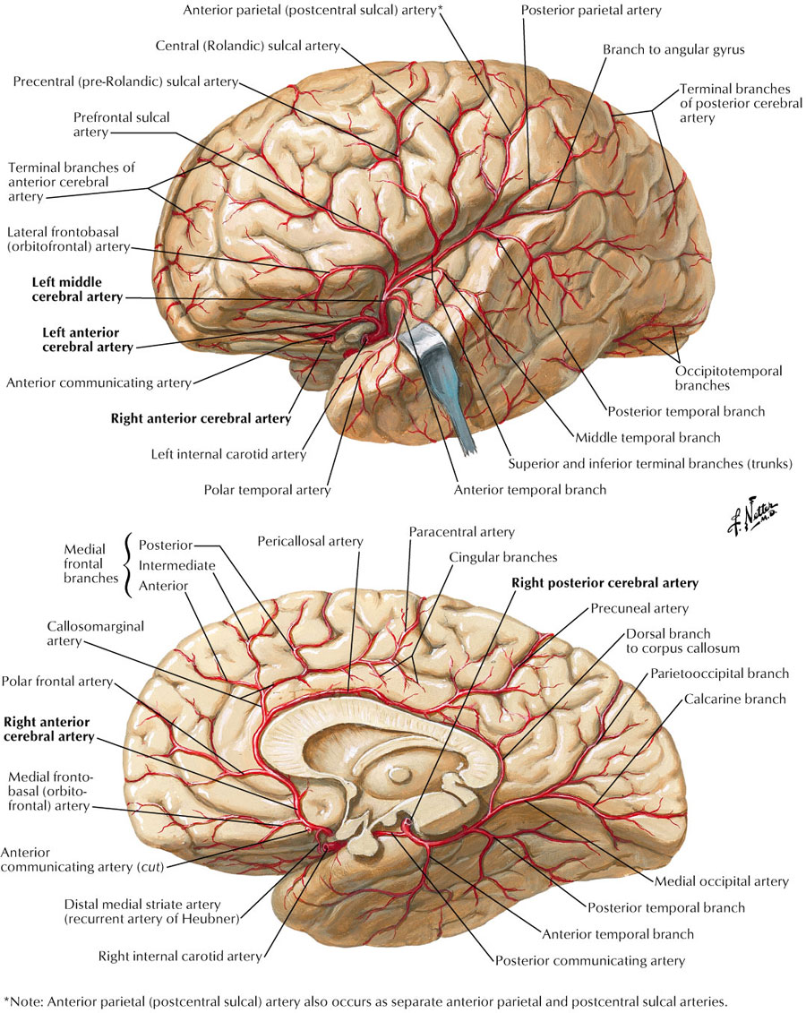 Arterial supply to brain:Posterior cerebral artery (PCA), segments ...