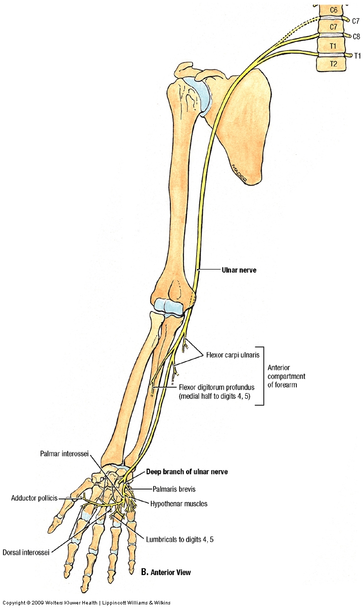 Nerves:Arm/Shoulder:Ulnar nerve course, relations and innervation ...