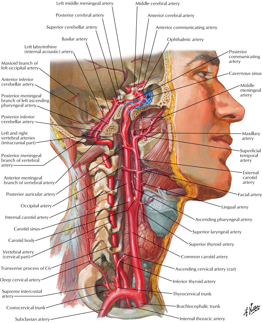Diagram Arteries Neck Muscles House Wiring Diagram Symbols