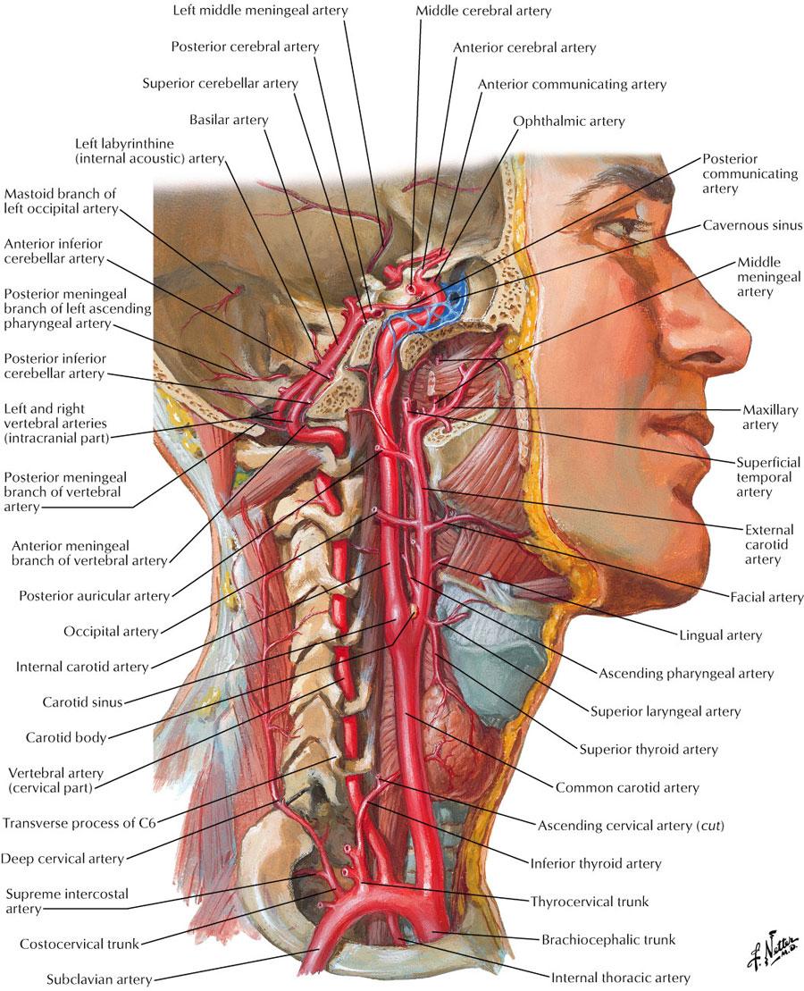 Carotid sheath:Internal carotid artery | RANZCRPart1 Wiki | FANDOM ...