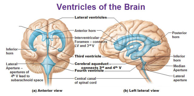 image - ventricles-of-the-brain-horn-interventricular-foramen, Human Body
