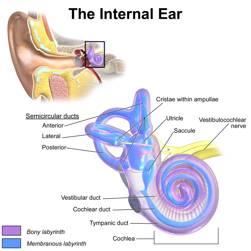 Inner Ear | RANZCRPart1 Wiki | FANDOM powered by Wikia