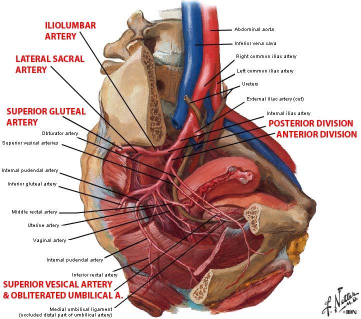 Arterial Structurespelvisinternal Iliac Artery Ranzcrpart1 Wiki