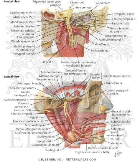mandibular nerve - Forte.euforic.co