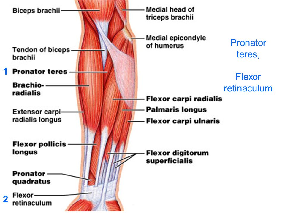 Muscle  Group Forearm Flexor Compartment Superficial Layer
