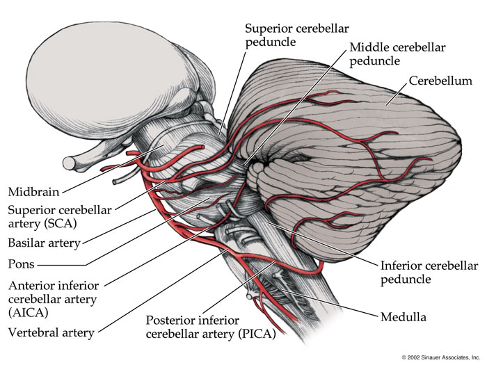 Arterial supply to brain:Cerebellar arteries (SCA, AICA, PICA ...