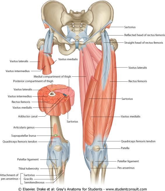 Image anterior compartment thigh1311416992110 1g anterior compartment thigh1311416992110 1g ccuart Gallery