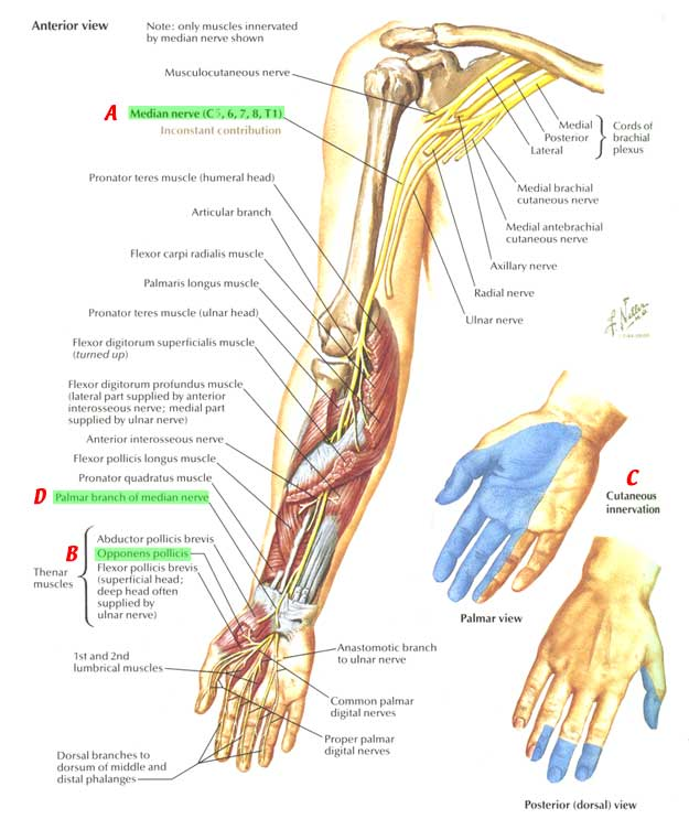 Nervesarmshouldermedian Nerve Course Relations And Innervation