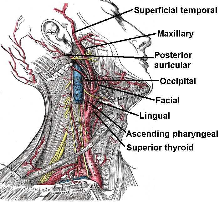 Vessels/nerves of the neck:All branches of external carotid artery ...