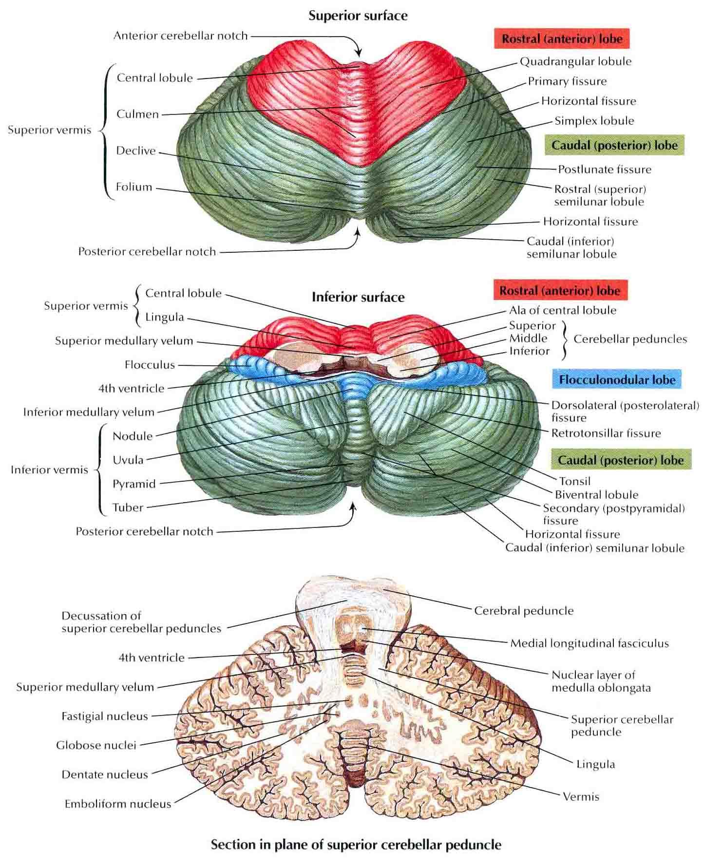 Image - Cerebellum.jpg | RANZCRPart1 Wiki | FANDOM powered ... Flocculonodular Lobe Label