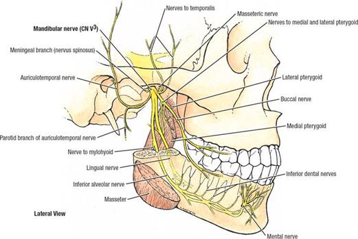 Infratemporal fossa:Mandibular n. & branches   RANZCRPart1 Wiki ...