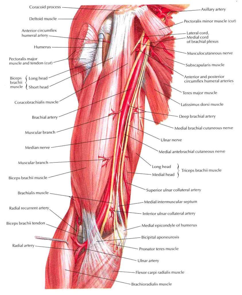 Image Brachial Artery In Situg Ranzcrpart1 Wiki Fandom