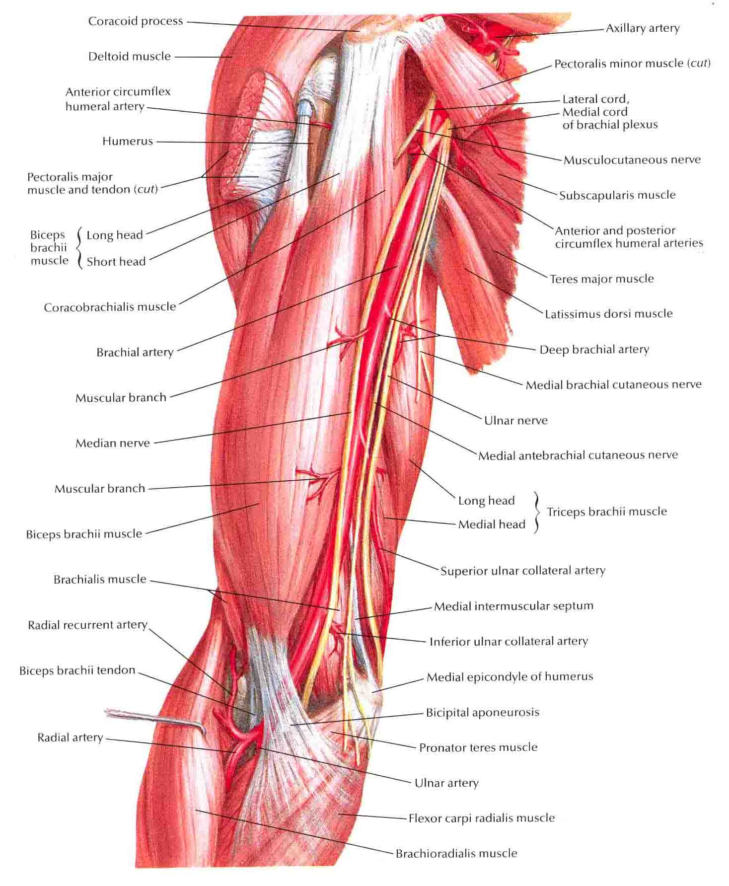 Image brachial artery in situg ranzcrpart1 wiki fandom brachial artery in situg pooptronica Image collections
