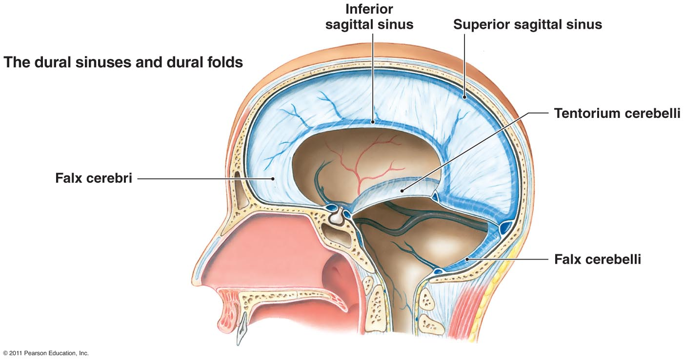 Brain Anatomy Diagram Of The Dura Matter Diy Enthusiasts Wiring