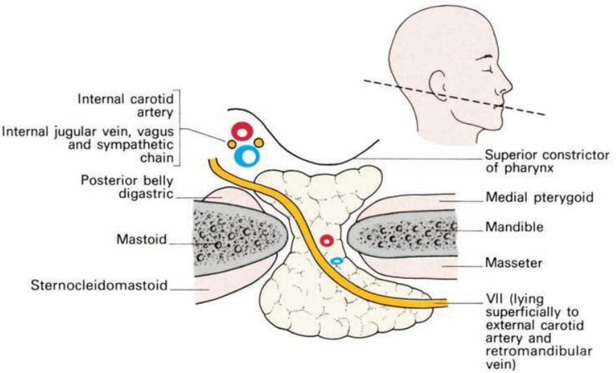 Image - Ralations of parotid gland.jpg | RANZCRPart1 Wiki | FANDOM ...