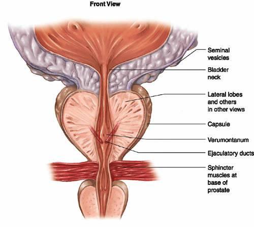 Lobes Prostate Anatomy Diagram - Application Wiring Diagram •