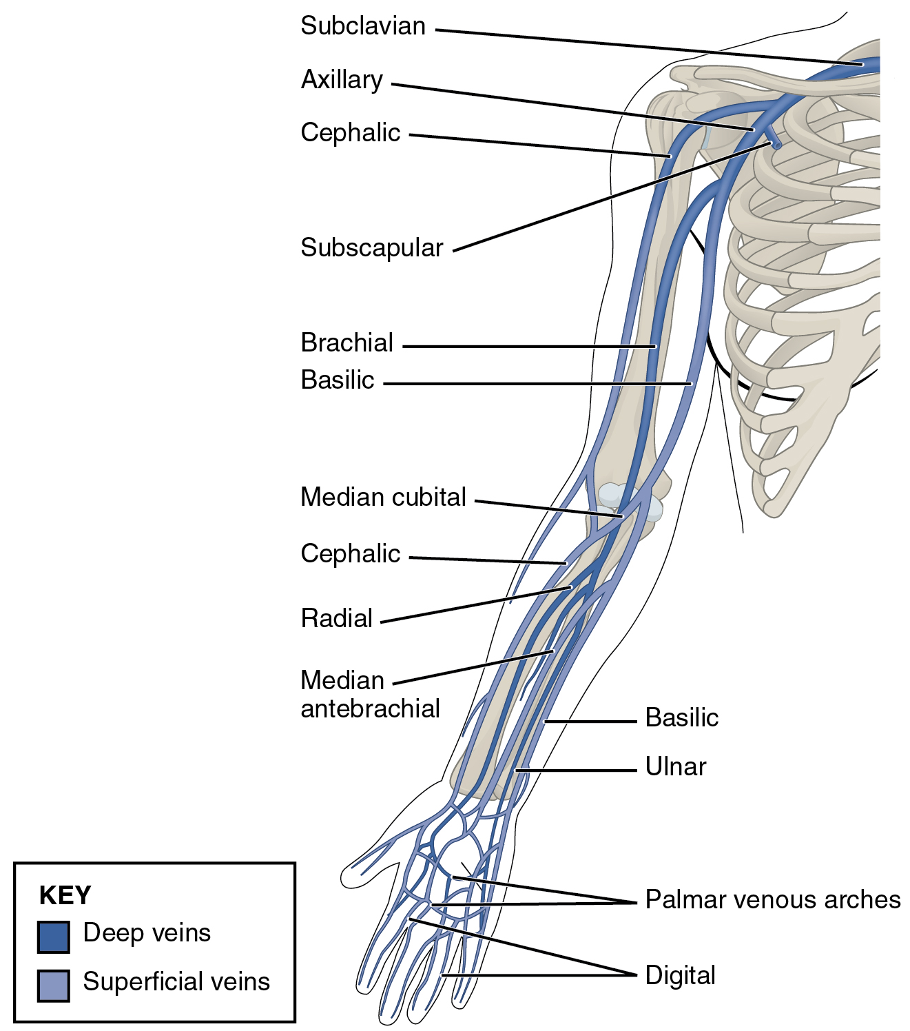 Diagram Of Upper Arm Venous - Enthusiast Wiring Diagrams •