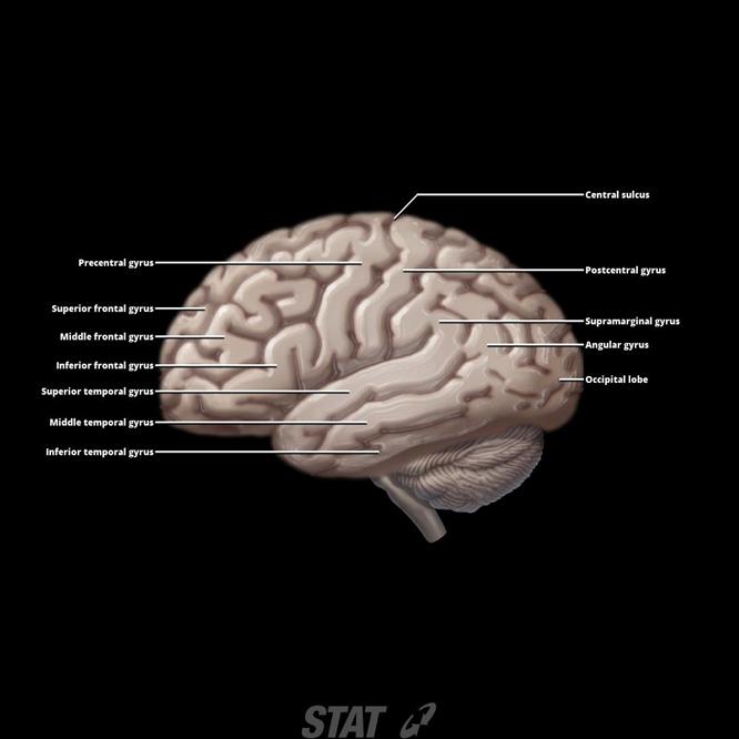 Cerebral Cortexfrontal Temporal Parietal Occipital Lobes