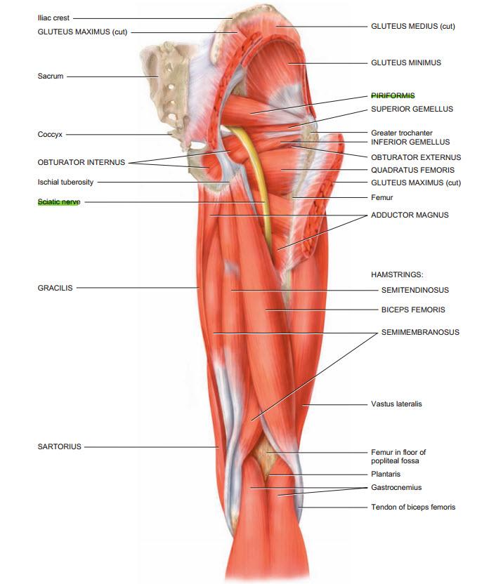 sciatic nerve anatomy - Akba.greenw.co