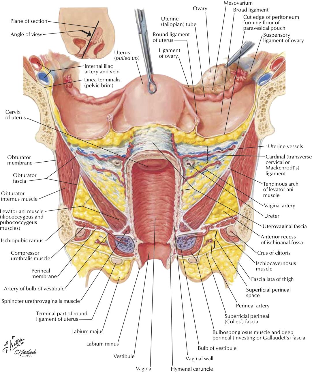 Uterus Nerves Diagram - Data Wiring Diagrams •