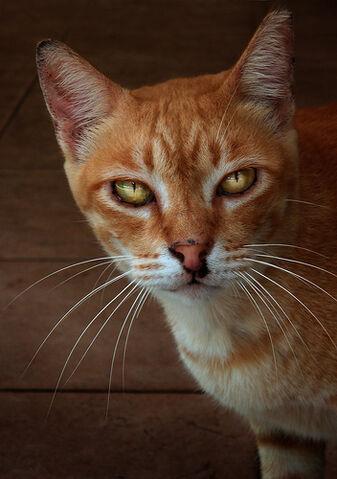 File:Kucinta, Singapore street cat.jpg