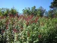 Salvia de colibrí