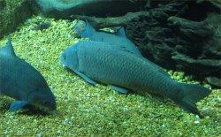 BuffaloFish