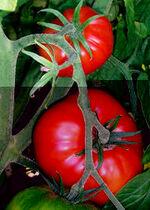 Tomatovine