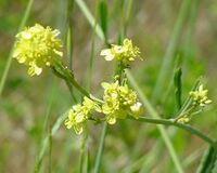 Mustardgreens