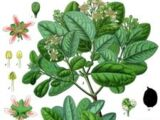 Boldo leaves