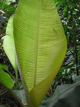 BananaLeaves